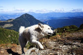 Dog assistant of the shepherd in Carpathians Mountains — Stock Photo