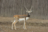 Blackbuck deer (Antilope cervicapra). — 图库照片