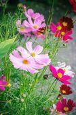 Květ růžové květiny v zahradě. — Stock fotografie