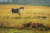 Cattle in the fields of rice in the morning. — Stock Photo