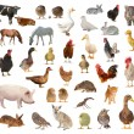 Livestock — Stock Photo #12483613
