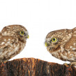 Two owl — Stock Photo #12483744
