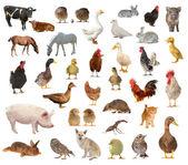 Hospodářská zvířata — Stock fotografie