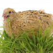 Stock Photo: Quail