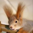squirrel — Stock Photo