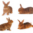 Brown Rabbit — Stock Photo #22032995