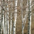 Birches in wood — Stock Video #29044677