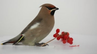 Bohemian Waxwing — Stock Video