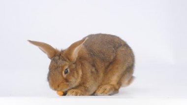 Kaninchen frisst Karotten auf weißem Hintergrund — Stockvideo