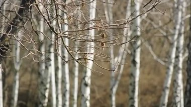 Birches in the wood — Stock Video