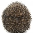 Hedgehog — Stock Photo #29355333