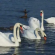 Swans and ducks float on the lake — Видео