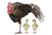 Turkeys — Stock Photo