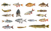 Species of river fish — Stock Photo