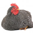 Rooster — Stock Photo #36873675