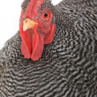 Rooster — Stock Photo