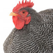 Rooster — Stock Photo #36873687