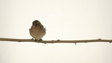 Little sparrow on a branch — Stock Video