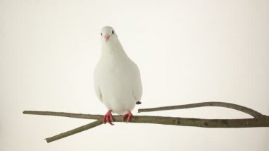 White dove — Stok video