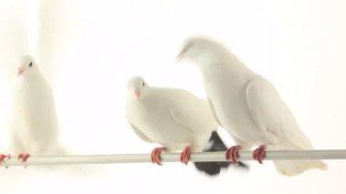 Beyaz güvercinler — Stok video