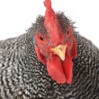 Portrait of rooster — Stock Photo #37592047