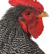 Portrait of rooster — Stock Photo #37592049
