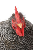 Portrait of rooster — Stock Photo