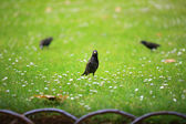 Starling on a green meadow — Stock Photo