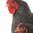 Portrait of rooster and hen — Stock Photo #38148505