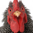 Portrait of rooster — Stock Photo #38148557