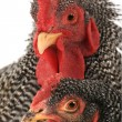Portrait of rooster and hen — Stock Photo #38148559