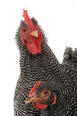 Portrait of rooster and hen — Stock Photo