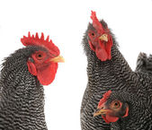 Portrait of three hens — Stock Photo