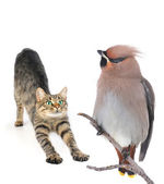 Cat and Bohemian Waxwing — Stock Photo