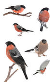 Bullfinch on a white — Stock Photo