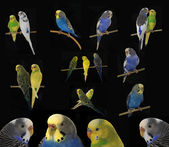 Budgerigars australian parakeets — Stock Photo