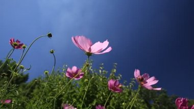 Cosmos flowers — Stock Video