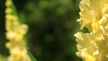 Yellow Gladiolus flowers — Stock Video