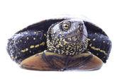 Kaplumbaga — Stok fotoğraf
