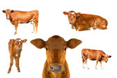 Calf set — Stock Photo