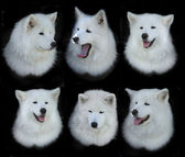 Samoyed dogs — Stockfoto