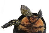 Turtle standing on hinder legs — Stock Photo