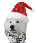Samoyed dog in Santa hat — Stock Photo