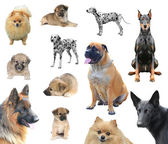 Different dog breeds — Stockfoto
