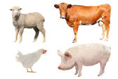 Cow, sheep, pig and hen — Stock Photo