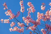 Våren sakura blossom — Stockfoto