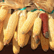 Maize stock — Stock Photo