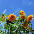 Yellow sunflowers agains blue sky — Stock Photo