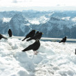 Blackbirds — Stock Photo