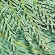 Cypress close-up — Stock Photo